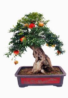 石榴盆景(图); 石榴均属盆栽佳品; 石榴树盆景欣赏