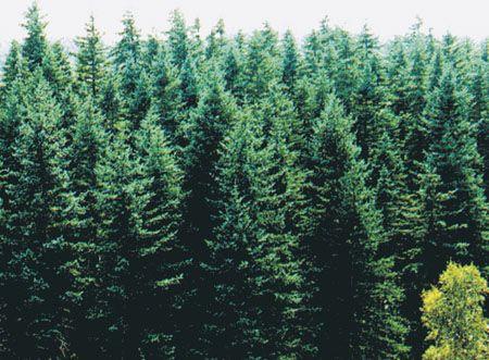 速写风景云杉树