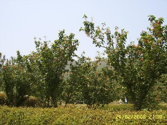 樱桃树图片