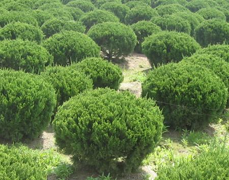 首页 供应信息 绿化苗木 灌木 > 正文  龙柏球 认证档案 中国园林网