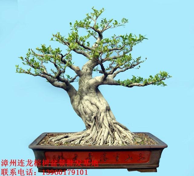 榕树盆景.树桩