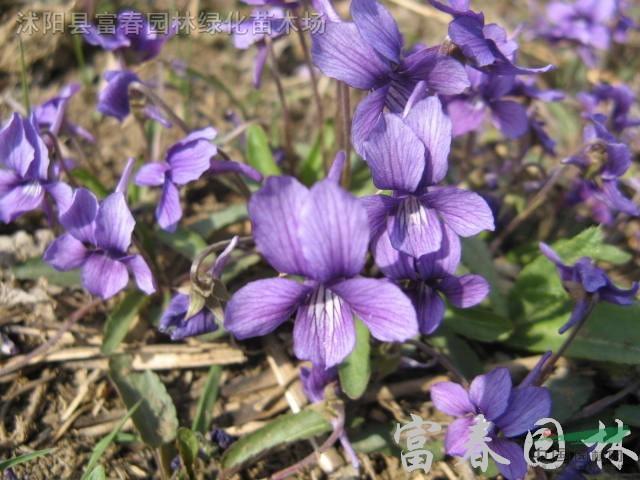 丁种苗,别名 铧头草 光瓣堇菜,紫花地丁基地