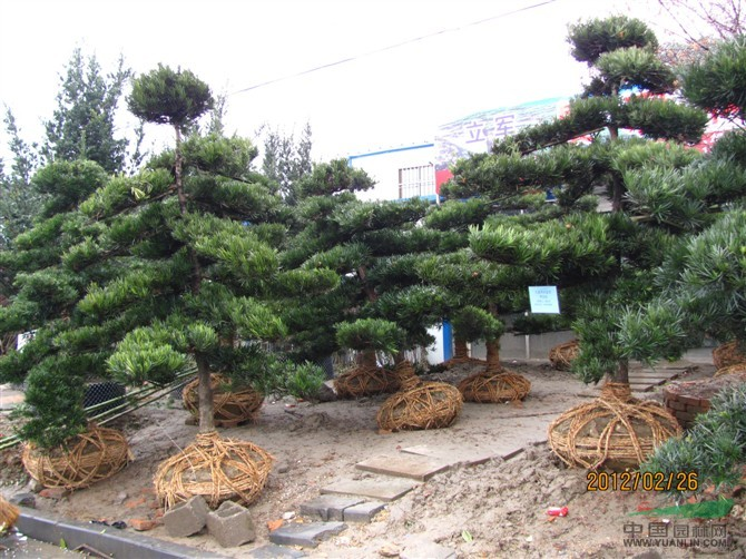 盆栽罗汉松图片_珍珠罗汉松盆景