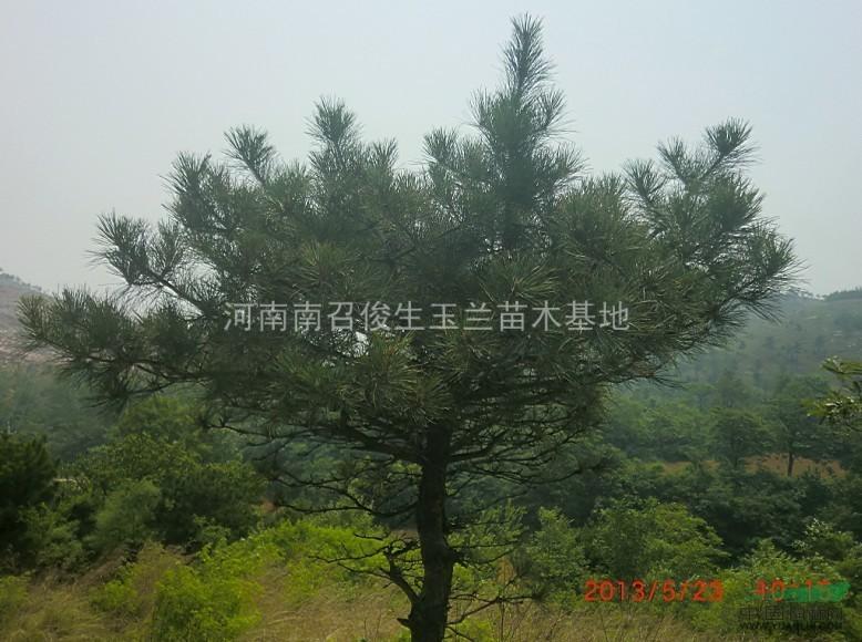 首页 供应信息 绿化苗木 乔木 > 正文  造型平头油松,树形优美,耐旱