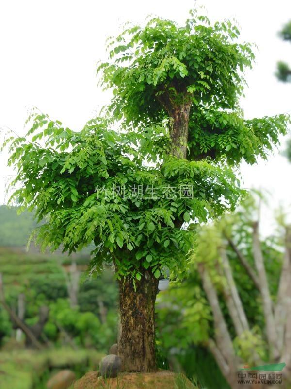 供应印度紫檀木