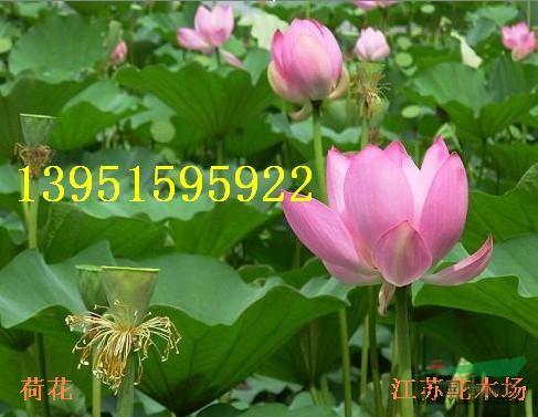 荷花莲子睡莲碗莲繁殖方法黄菖蒲鸢尾种子哪里有多少钱一斤