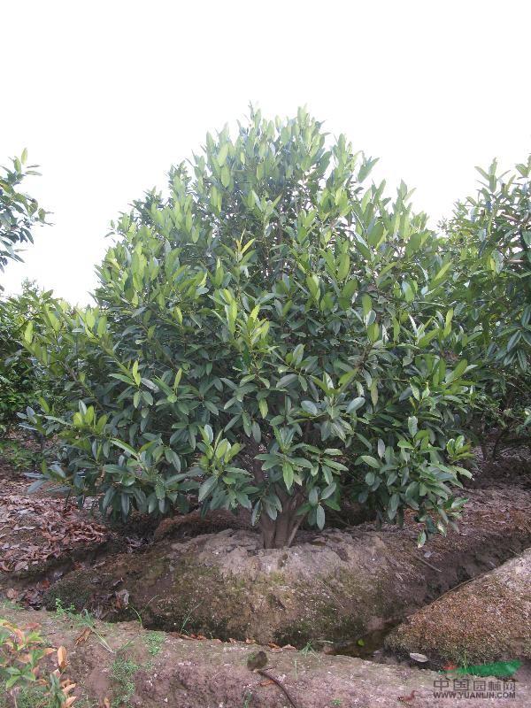 首页 供应信息 绿化苗木 乔木 > 正文  苦丁茶树属于大叶冬青科.