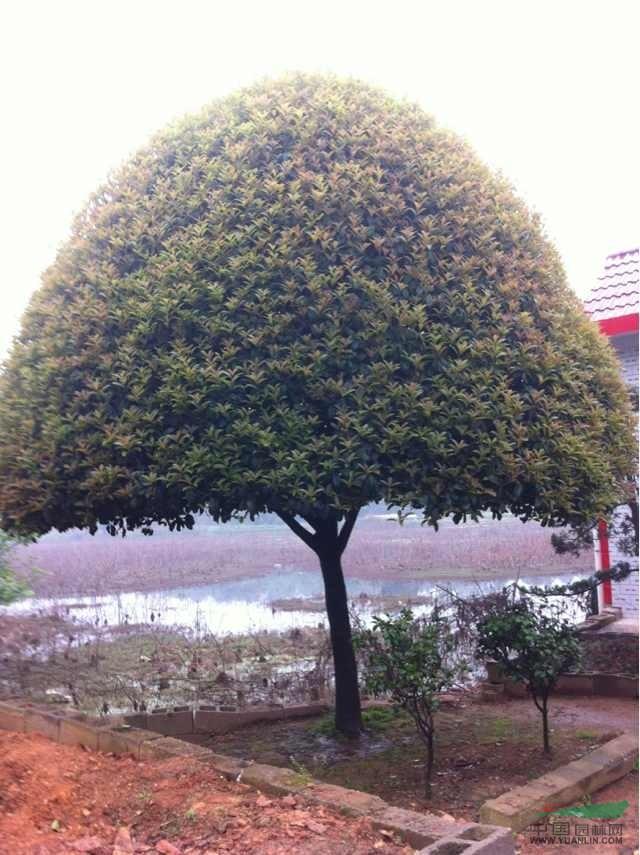 精品桂花树如何整形