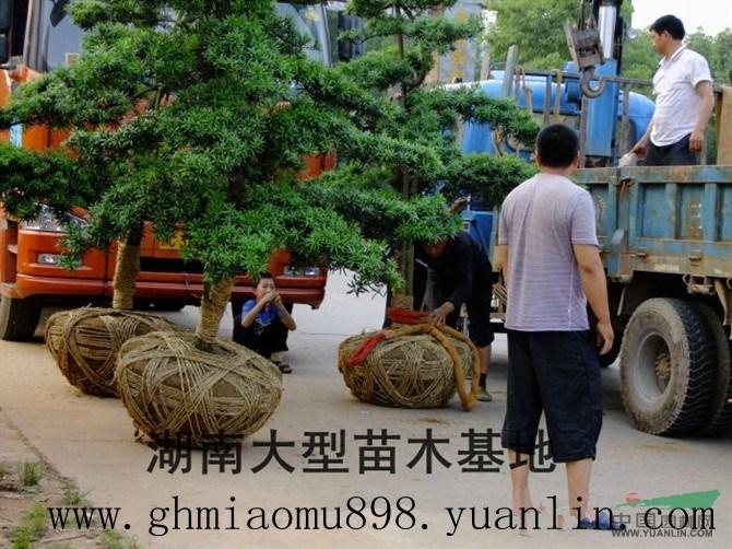 *新湖南苗木基地造型罗汉松行情价格(提供图片)
