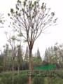 有部分黄山栾树低于市场价