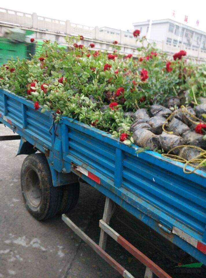 6月13日發往安徽合肥的大花月季