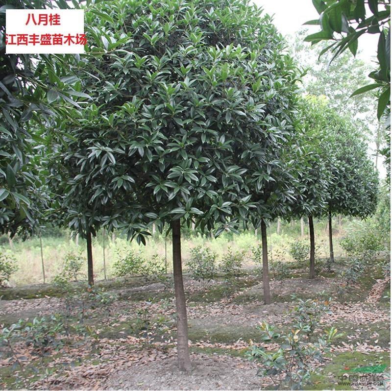 桂花树价格表