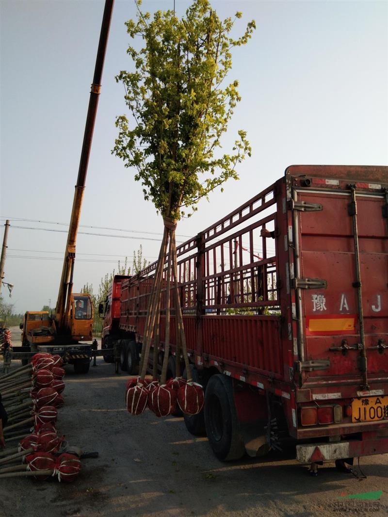 2019河南金叶复叶槭基地大量供应1到8公分