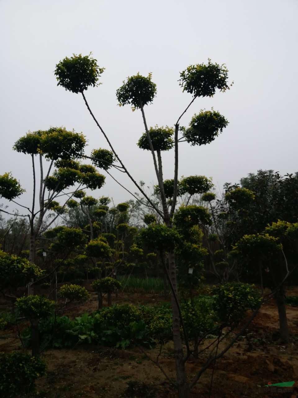 低价销售各种规格的绿化苗木,及花卉宿根植物