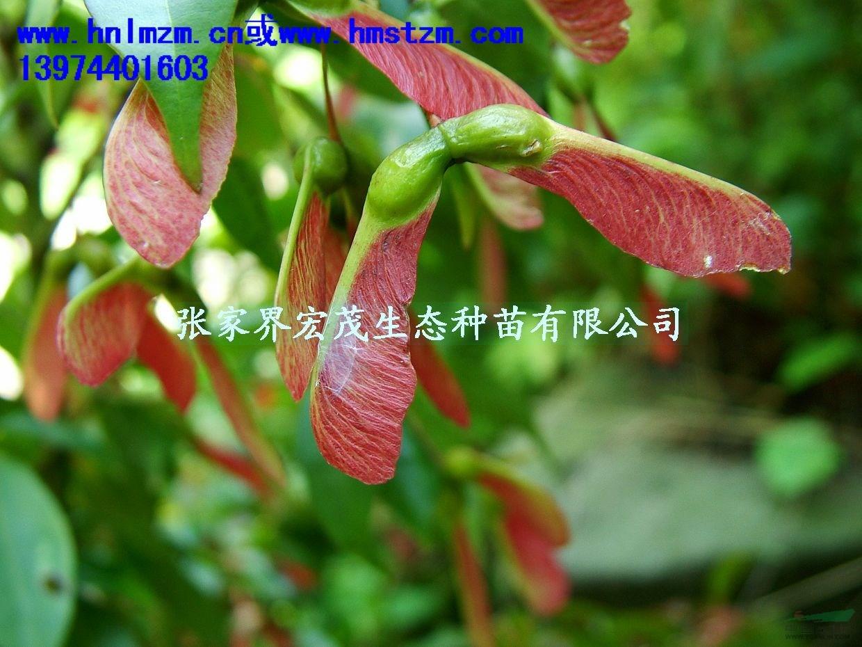 景观树种红翅槭