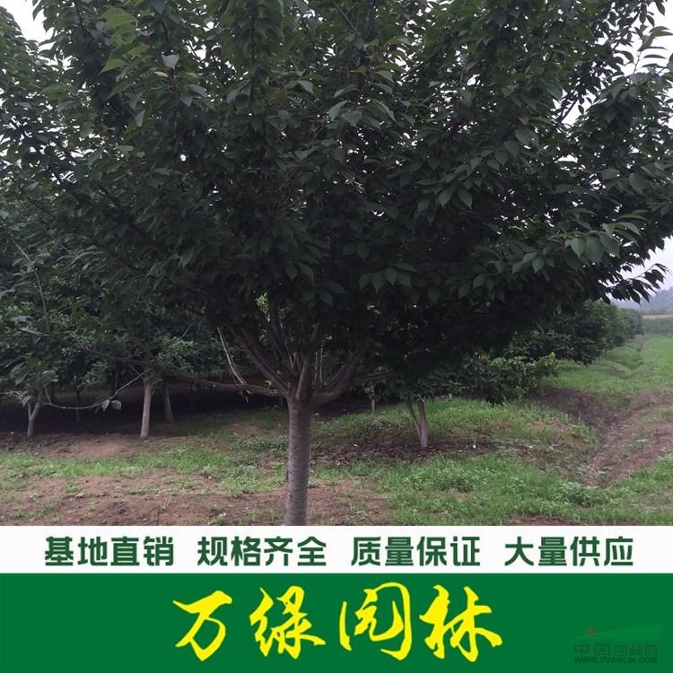 日本樱花价格_日本樱花产地_日本樱花绿化苗木苗圃基地