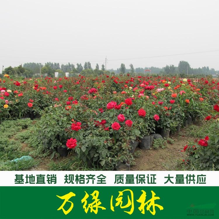 品种月季价格_品种月季产地_品种月季绿化苗木苗圃基地