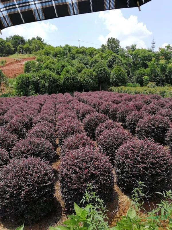 红花继木,供应便宜红花继木,红花继木的分类