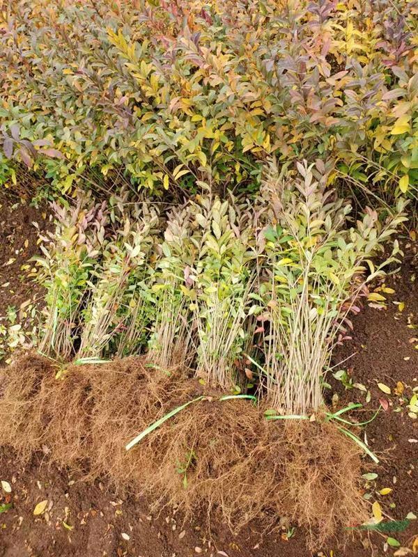 沭阳市场上水蜡小苗多少钱一棵?