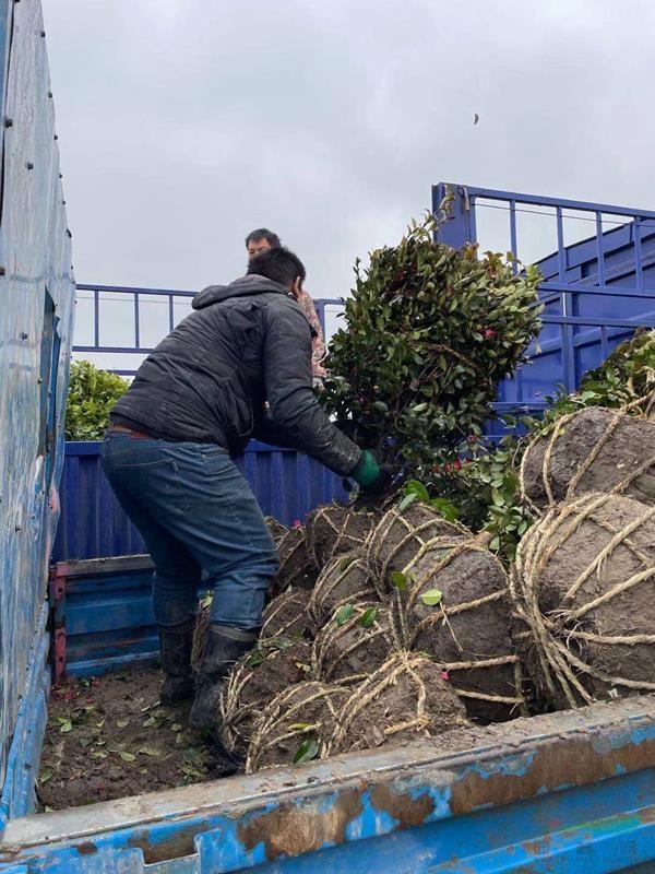 1.5米茶梅球、1.2米红花继木球发往安徽