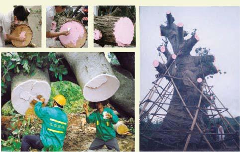 大树移植流程图