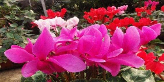 ,欢迎来到中国园林网 -花贵妃 海棠