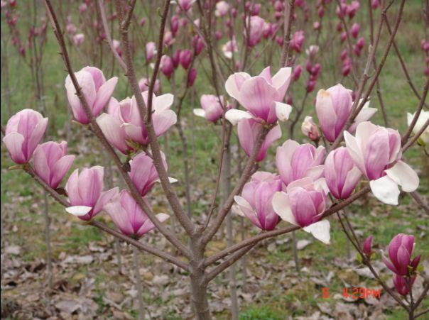 紫玉兰的栽植与养护 - ali8840 - ali8840的博客