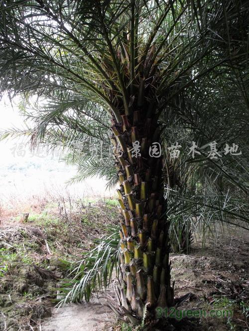 福建漳州鸿景园苗木基地