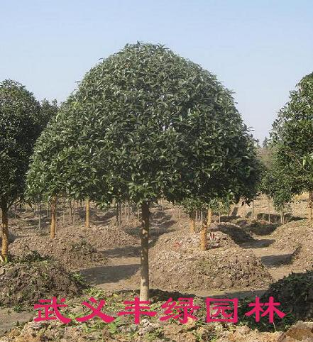 枸骨柞木盆景;桂花