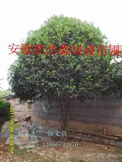 安徽鑫绿盛苗圃