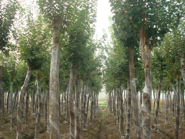 肥西县红旗苗木种植专业合作社