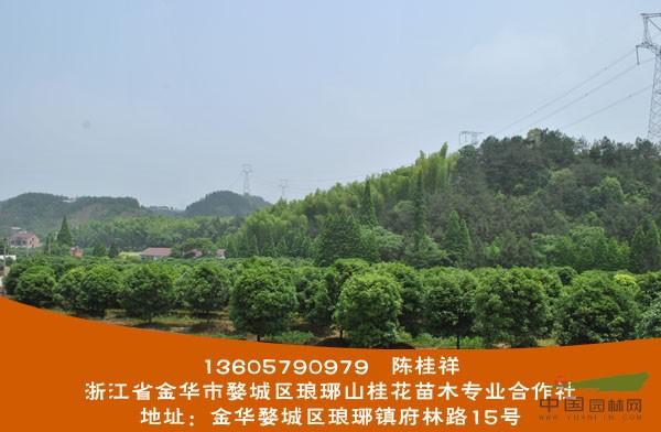 浙江省金华市琅琊山桂花苗木专业合作社是一家专业种植桂花的苗木基地,种植面积200亩,所有桂花一米以上分枝,米径12-16公分,冠350-650公分,数量1万多株形成一大特色,是金华市地区个人以桂花种植面积最大的种植户,在当地及附近地区已有较大的知名度,获得了桂花采购商们的青睐,走进长江三角州等地,散发桂花独特的魅力。欢迎前来参观考察