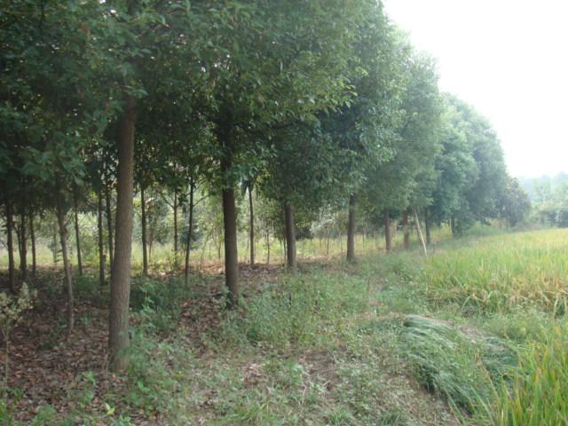 红旗苗木种植基地