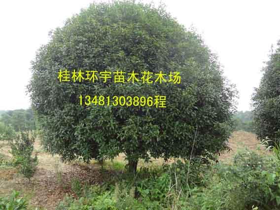 桂林环宇苗木花木场