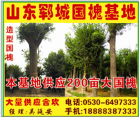 山东昊园大型国槐种植基地
