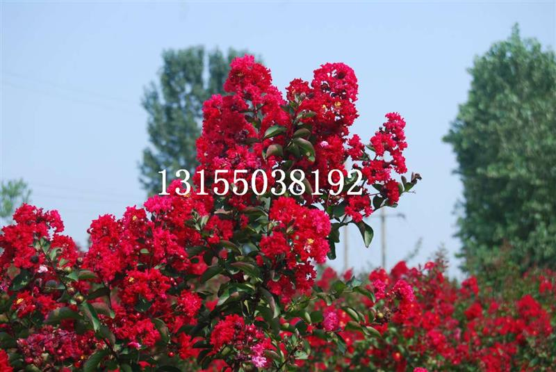 安徽省滁州市全椒县绿地美国紫薇苗木场
