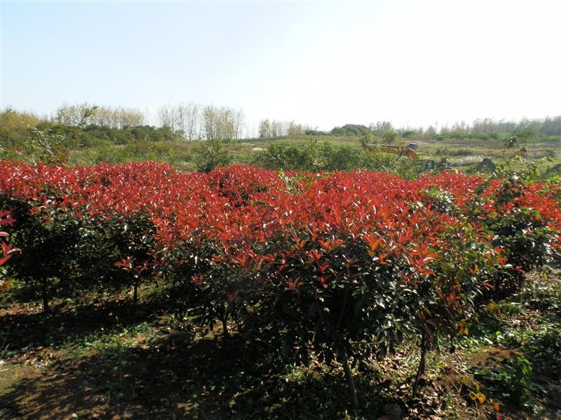 南京鑫润林生态农业有限公司 主营苗木花卉