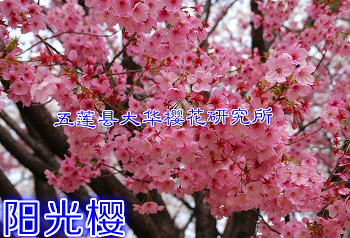 五莲县大华樱花研究所