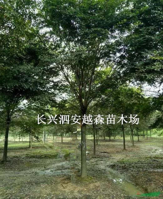 长兴泗安越森苗木场