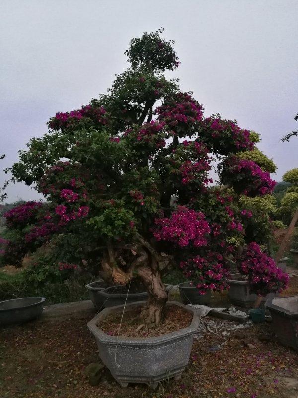漳州色辉苗木场