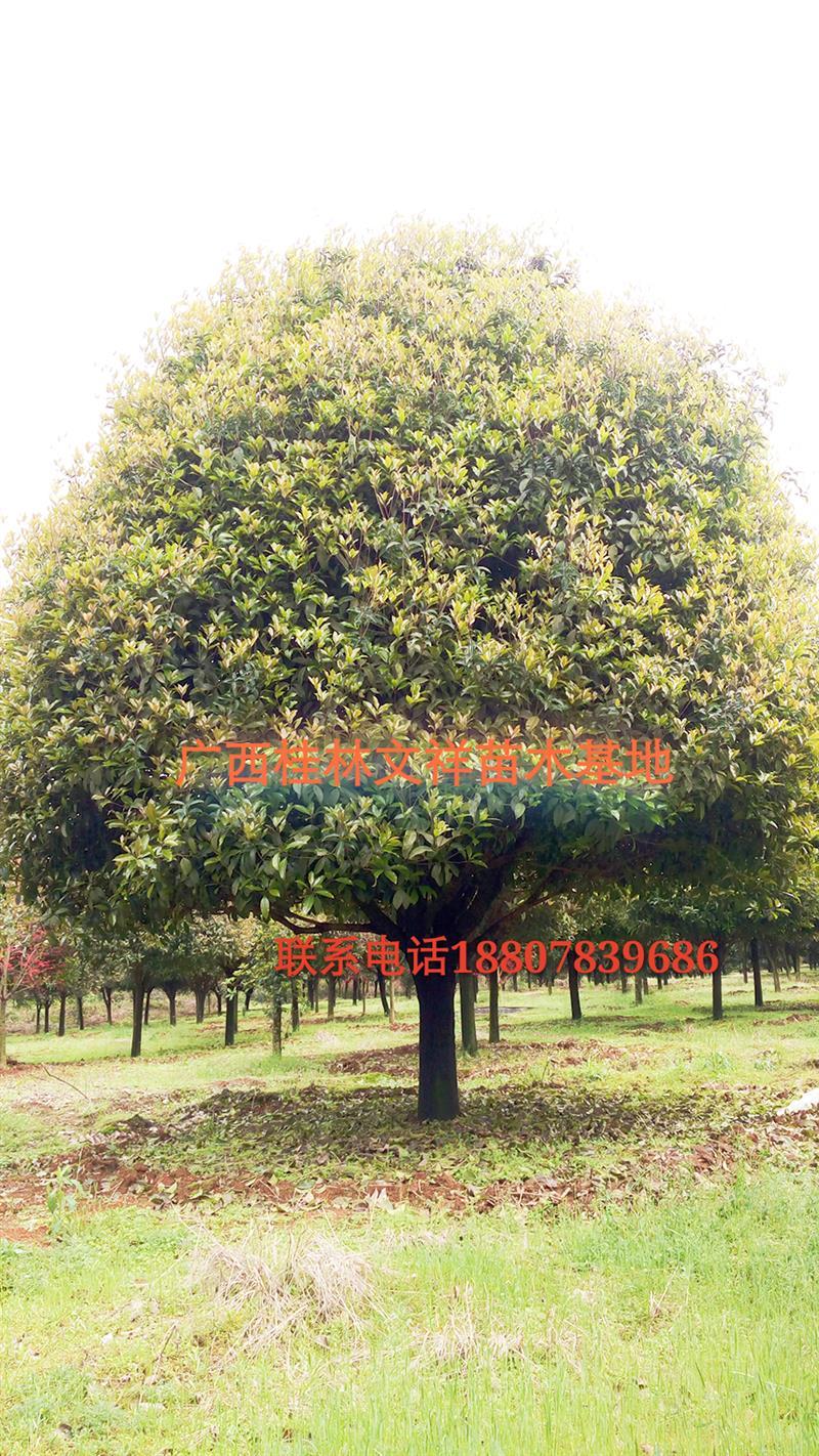 广西文祥园林苗木种植基地