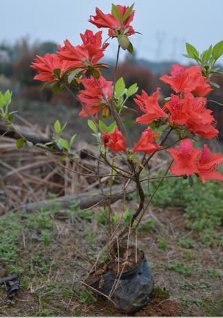 长沙市雨花区映山红苗圃