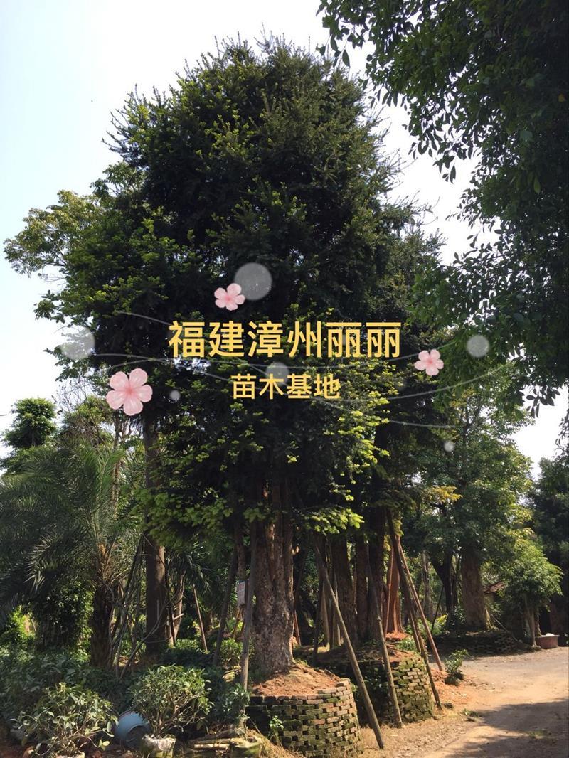 福建漳州丽丽苗木基地