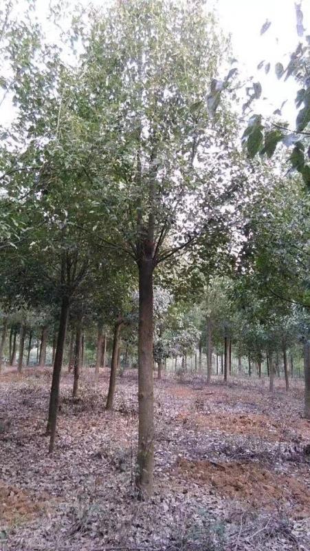 荆州市荆州区雨晨苗木专业合作社