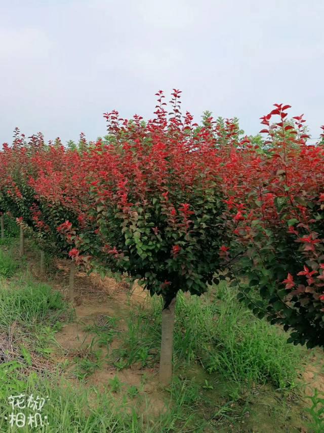 沭阳县富士园林绿化苗木场