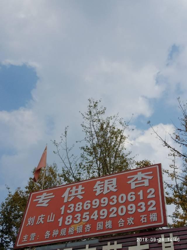 山东临沂刘氏银杏苗木基地