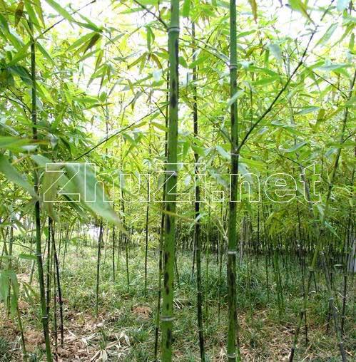 查找竹子风景图片