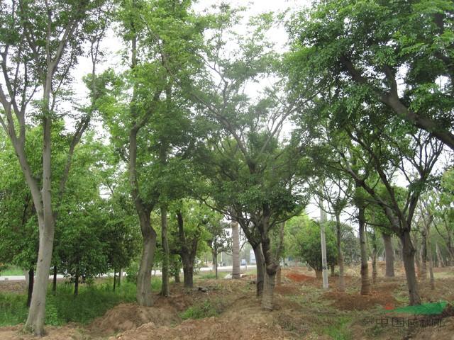 朴树_朴树供应_滁州来安长山苗木基地_中国园林网