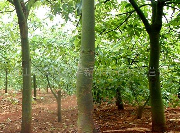 发财树苗木