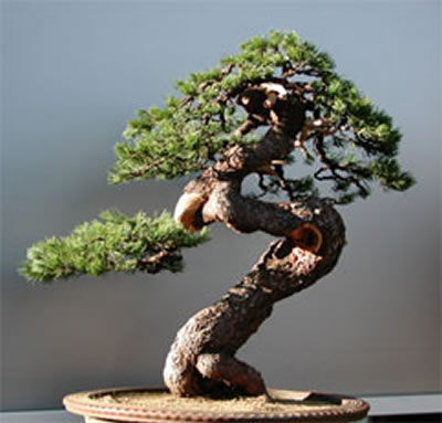 2017年6月14日       松树盆景精品欣赏 - 田园 - 劉振華的田園